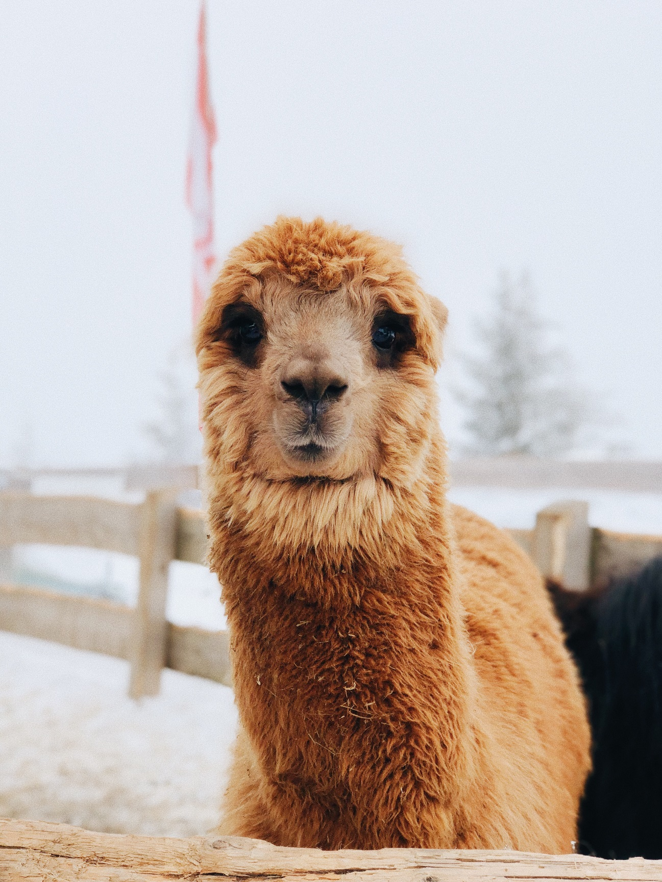 color natural Bufanda de lana 100/% lana de alpaca Mitos Natural Elegance