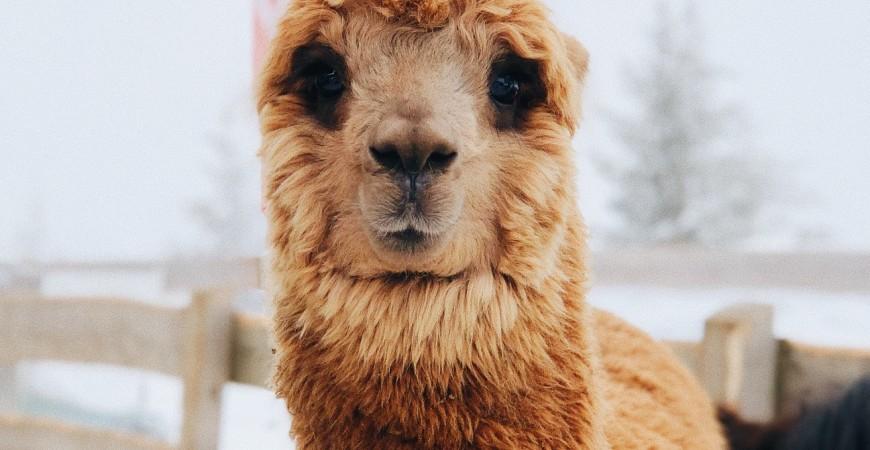 Todo lo que necesitas saber sobre la ropa de alpaca